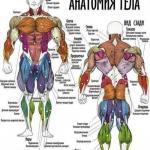 Основные группы мышц.